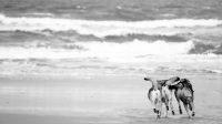 Voyager avec son chien : nos chiens-loups de saarloos sur les plages de l'océan atlantique au Portugal durant notre road-trip