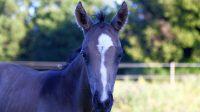 Naissance de MND Standing Rock, poulain painthorse buckskin, élevage MND : qualité, nature et magie