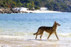 Voyager avec son chien : Alanis, chien-loup de saarloos, à la plage, au Portugal
