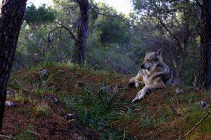 Voyager avec son chien : Atala, chien-loup de saarloos, road-trip en Espagne : l'Andalousie