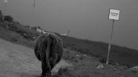 Highland cattle rencontrée pndant notre road-trip en Ecosse