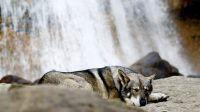 Diurach, chien-loup de saarloos, pendant notre road-trip, au pied d'une cascade dans les pyrénées espagnoles