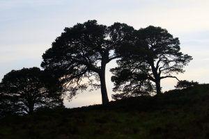 La silhouette des pins calédoniens, paysages écossais à Loch Affric