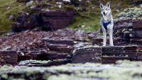 En voyage avec son chien : Atala, chien-loup de saarloos durant notre road-trip en Ecosse, côte ouest