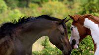 Juments paint-horse, élevage MND Paint-Horse, qualité, nature et magie. MND Miss Awesome (Conclusive Mister, Awesome Andy) et Obsessive Emotion, sorrel overo