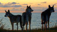 Trois chiens-loups sur les rives de la mer baltique, élevage MND, road-trip, voyage autour de l'Europe