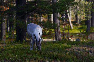 Jeune renne en Finlande, rencontré pendant notre voyage