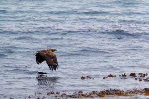Rencontre avec un pygargue ou aigle pêcheur près du Cap Nord, en Norvège lors de notre road-trip