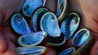 Coquilles d'ormeaux ramassées dans une crique sauvage en Grèce