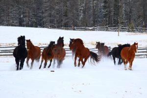 les chevaux du Teepee Heart Ranch