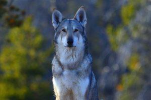 Atala, chien-loup de saarloos