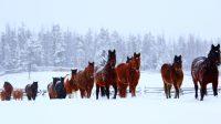 le troupeau du teepee heart ranch