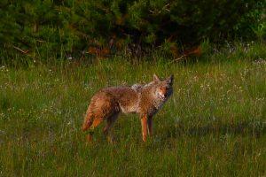 coyote chilcotin