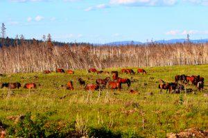 Troupeau de mustangs dans les Chilcotin, Colombie-Britannique, Canada
