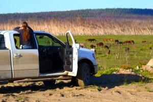 Observation des chevaux sauvages des Chilcotin
