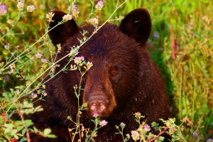 ours noir chilcotin bc