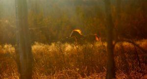 étalon sauvage solitaire dans les chilcotin