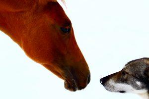 Face à face entre Rose la pouliche et Diurach le chien-loup
