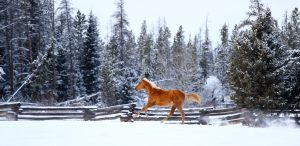 Rose Gold N Rubies, Midsummer Night's Dream Horses