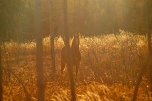 face à face avec un étalon sauvage en Colombie-Britannique
