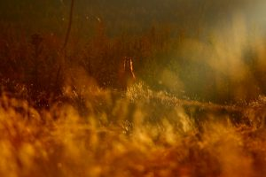 mustang solitaire dans les chilcotin