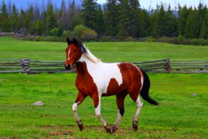 Cheval de ranch, Tennessee Walker